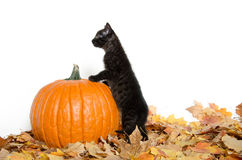 Black kitten and pumpkin Stock Photography