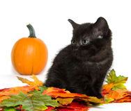 Black kitten and pumpkin Stock Photo