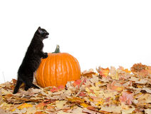 Black kitten and pumpkin Stock Images