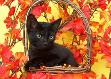Black kitten in pumpkin basket with fall leaves Stock Photos