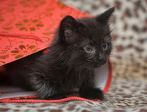 Black kitten in a red bag Stock Photography