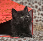Black kitten in a red bag Royalty Free Stock Images