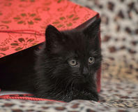 Black kitten in a red bag Royalty Free Stock Photos