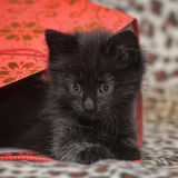 Black kitten in a red bag Stock Images