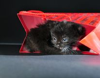 Black kitten in red gist bag Royalty Free Stock Image