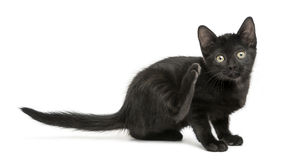 Black kitten scratching, looking at the camera, 2 months old royalty free stock photography