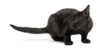 Black kitten scratching, 2 months old isolated on white Stock Images