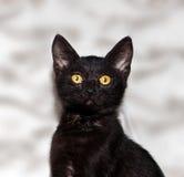 Black kitten shorthair Stock Photo