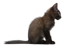 Black kitten sitting Stock Image