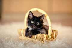 Black kitten sitting in a basket folded his front paws. age 1 mo Royalty Free Stock Photography