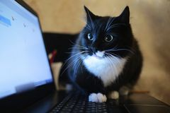 Black cat sitting on a laptop in the room. The cat is looking at camera stock photo