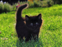 Black kitten Royalty Free Stock Images
