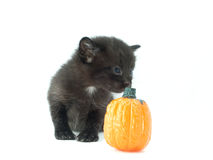 Black kitten sniffing pumpkin Stock Image