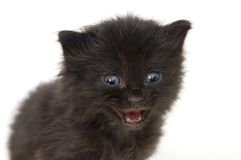 Black kitten on white background Stock Images