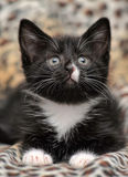 Black kitten with a white chest Royalty Free Stock Photo