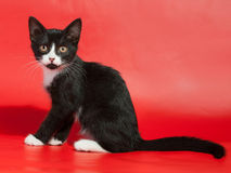 Black kitten with white spots sitting on red. Background Royalty Free Stock Photo