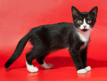 Black kitten with white spots stands on red. Background Stock Photos