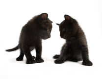 Black kittens. Two kittens look against each other Stock Image
