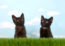 Black kittens sitting in grass looking up. Close up of two 6 week old black kittens in tall grass with blue sky background white clouds. copy space Royalty Free Stock Photography