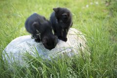 Black kittens on the stone in the green grass background. Black kitten outdoors Stock Photos