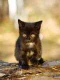 Black kitty in the autumn forest Royalty Free Stock Photo