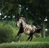 Black kladrub stallion runs free in summer meadow Stock Image