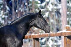 Black kladruber horse Royalty Free Stock Image