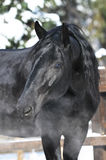 Black Kladruber horse portrait in winter Stock Photo