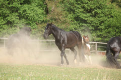 Black kladruber horse running in the dust Royalty Free Stock Photography