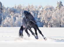Black kladruber horse running in winter Royalty Free Stock Photo