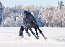 Black kladruber horse running in winter Royalty Free Stock Photo