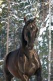 Black Kladruber horse runs gallop. Black Kladruber horse runs front in winter Royalty Free Stock Photo