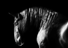 Black kladruby horse portrait on the dark background, black and Stock Photos
