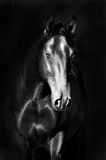 Black kladruby horse portrait in the darkness. Black kladruby horse portrait on the dark background, black and white photography Royalty Free Stock Photography