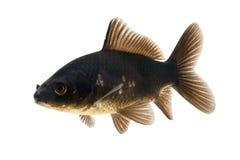 Black Koi Fish. Isolated on white background Royalty Free Stock Photo