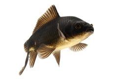 Black Koi Fish. Isolated on white background Stock Photography