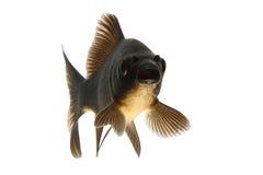 Black Koi Fish. Isolated on white background Stock Photos