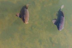 Black koi fish swimming. Royalty Free Stock Photos