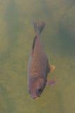 Black koi fish swimming. Royalty Free Stock Photo