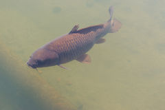 Black koi fish swimming. Stock Photos