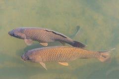 Black koi fish swimming. Royalty Free Stock Images