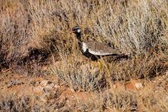 Black Korhaan,Kalahari desert Royalty Free Stock Photos