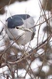 black krönad heronnatt Arkivfoto