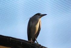 black krönad heronnatt Royaltyfria Bilder