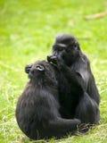 black krönad macaque Arkivbilder