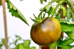 Black Krim -- Ukrainian heirloom tomato stock images