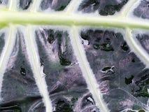 The Black Kris Plani Leaf Stock Photo