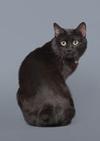 Black Kuril bobtail cat on a gray background Stock Photos