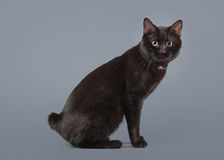 Black Kuril bobtail cat on a gray background Royalty Free Stock Photography