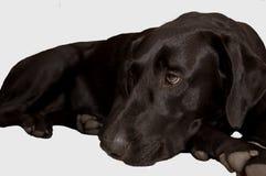 Black Lab. Rador retriever lying down Stock Photography
